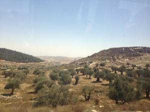 Plantación de olivos cerca de Jerusalén.